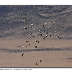 barheadedgeese_scape_ladakh
