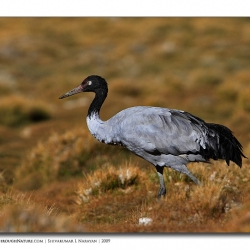 blackneckcrane_ladakh_walk