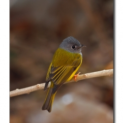 canary_flycatcher_ranthambore