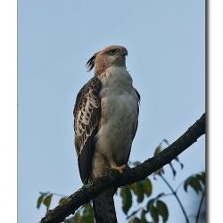 changeable_hawk_eagle_chikmagalore