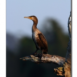 cormorant_kabini