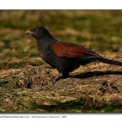coucal_bharatpur