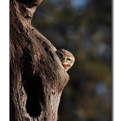owl_peep_bharaptur