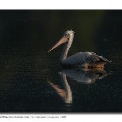 pelican_hebbal_02