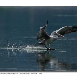 pelican_hebbal_04