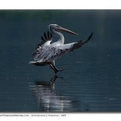 pelican_hebbal_06
