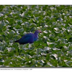 purple_moorhen_hebbal_mg_0499