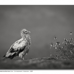 ramanagara_egyptianvultures_vultureflower_700
