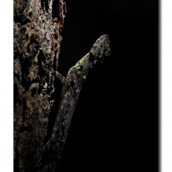 flying_lizard_dandeli