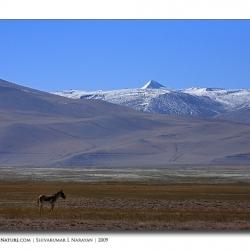 kiang_mountain_ladakh