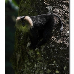liontailedmacaque_valparai_mg_8456