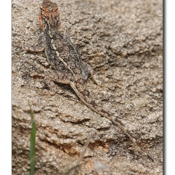 lizard_camoflage_mg_9991