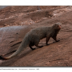 mongoose_stare_03