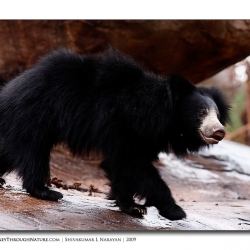 sloth_bear_walk