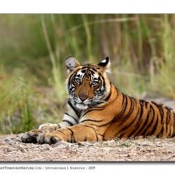 tiger_portrait