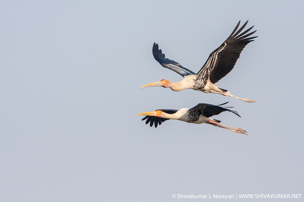 Painted Stork at Bharatpur