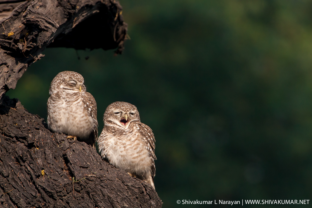 Spotted Owlets at Bharatpur