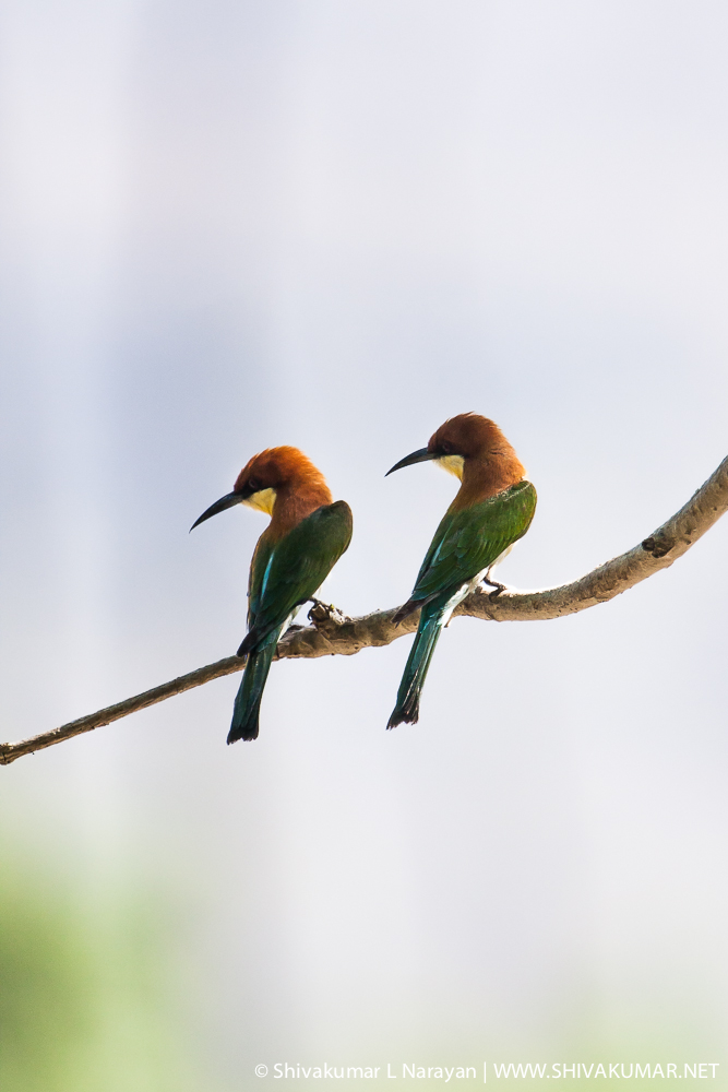 Chestnut Headed Bee eater at Corbet National Park
