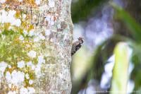 Pigmy Woodpecker