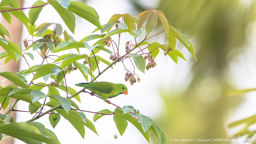 Vernal Hanging Parrot, Waynad