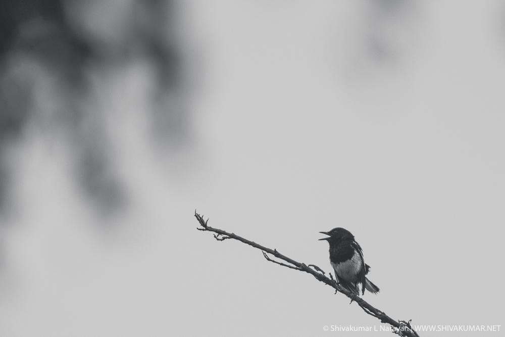 Magpie Robin Singing - Black & White
