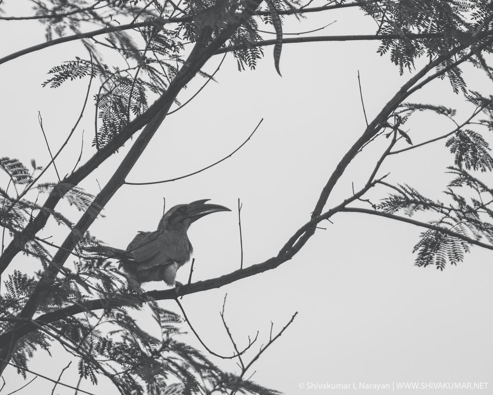 Indian Grey Hornbill - Black & White
