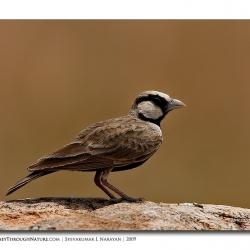 ashy_crowned_sparrow_lark_male_mydenahalli