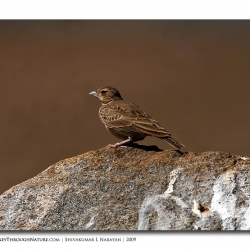 ashy_crowned_sparry_lark_female_tghalli
