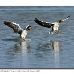 bar_headed_goose_magadi