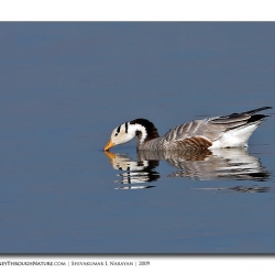 bar_headed_goose_magadi_02