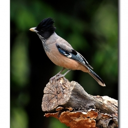 black_headed_jay_pangot