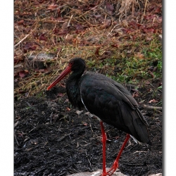black_ibis_ranthambore