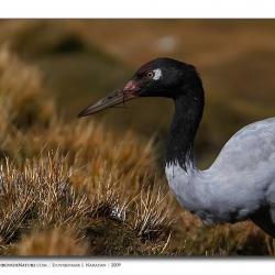 blackneckcrane_portrait_ladakh