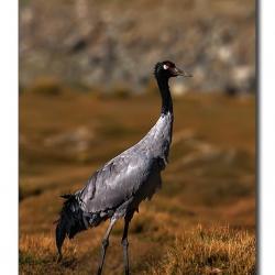 blackneckedcrane_ladakh