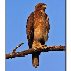 bonelli_eagle_bharatpur