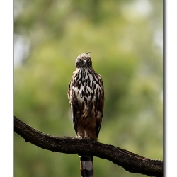 changeable_hawk_eagle_nandihills
