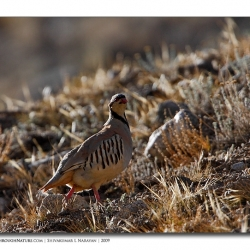 chukar_backlitscape_ladakh