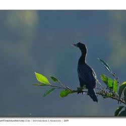 cormorant_01
