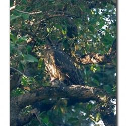 dusky_eagle_owl_bharatpur