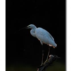 egret_bharatpur