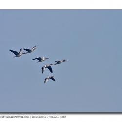 goose_bharatpur