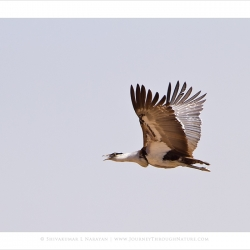 greatindianbustard_flight_dnp_mg_8526