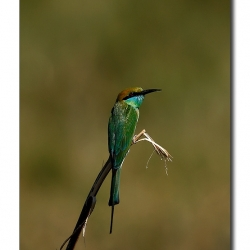 green_bee_eater_magadi