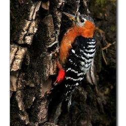 himalayan_woodpecker_pangot