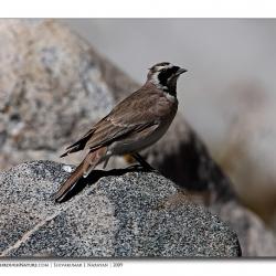 hornedlark_ladakh