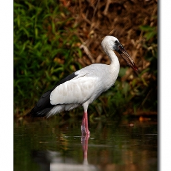 open_billed_stork_ranganthittu