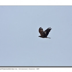 oriental_honey_buzzard_chikmagalore