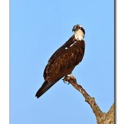 osprey_kabini01