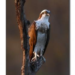 osprey_kabini02