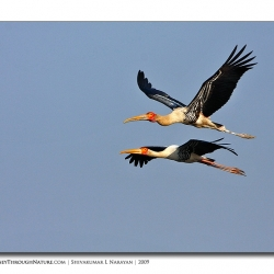 painted_stork_flight_bharatpur